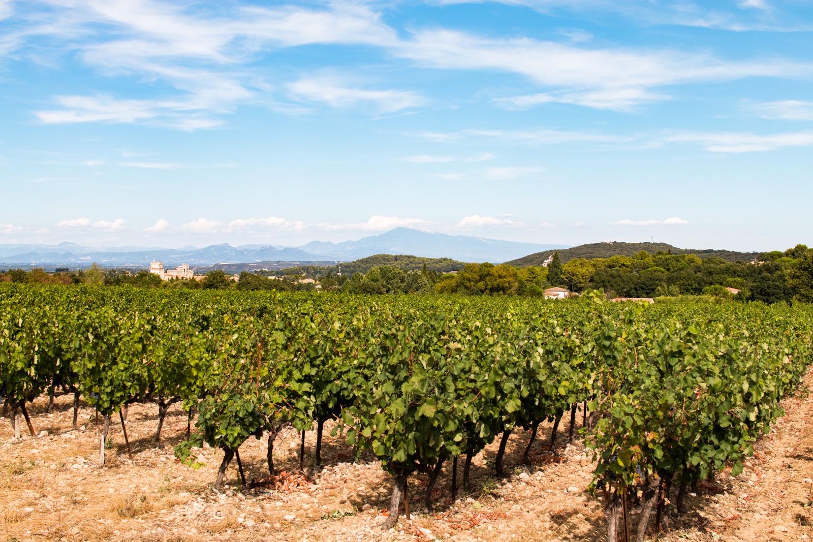 Des vignes bercées par le soleil