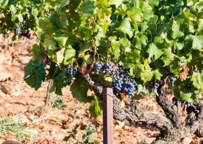 Des vignes situées dans le Sud de la France, dans le Vaucluse